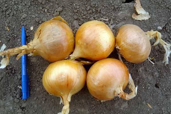 Гигантский лук Эксибишен: выращивание и уход