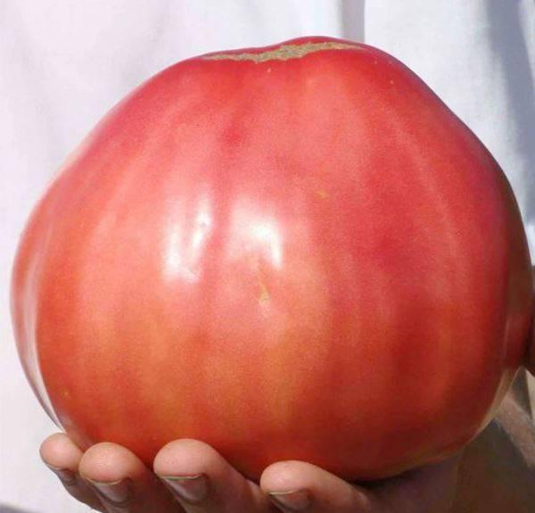 Качественные крупные плоды от сорта Воловье сердце