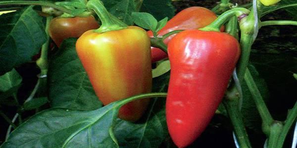 Как легко вырастить сладкий перец?