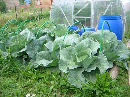 Как осуществляется выращивание капусты в открытом грунте