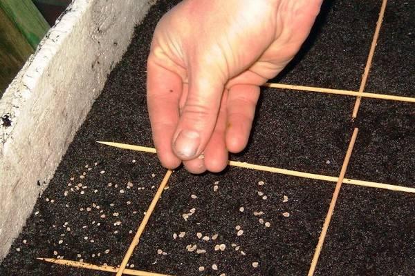 Как правильно выращивать петрушку в теплице?