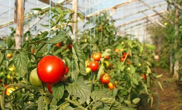 Как правильно вырастить помидоры в теплице зимой