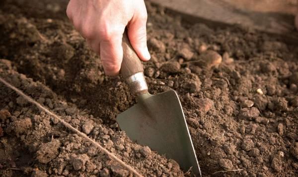 Как сажать кинзу семенами и правильно ухаживать за ней для получения хорошего урожая?