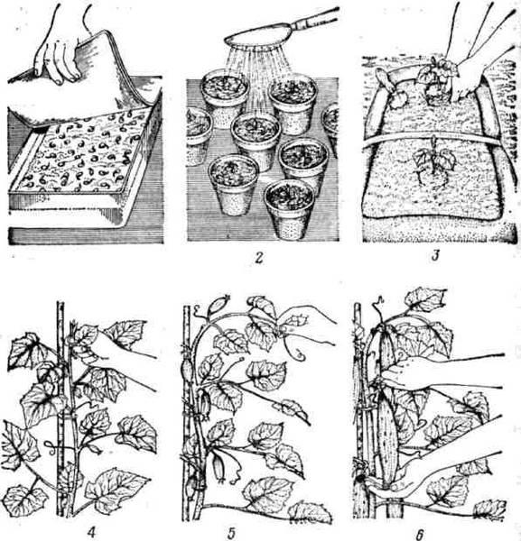 Как выращивать огурцы на участке