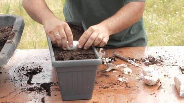 Как вырастить хороший урожай чеснока дома