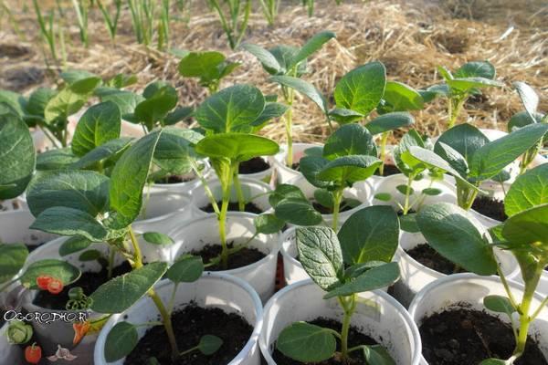 Как вырастить картофель из семян в домашних условиях  посев семян, сроки, уход