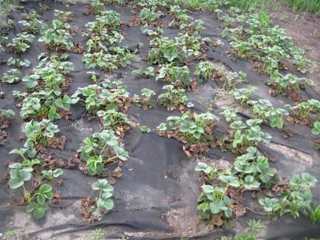 Как вырастить клубнику, используя агроволокно?