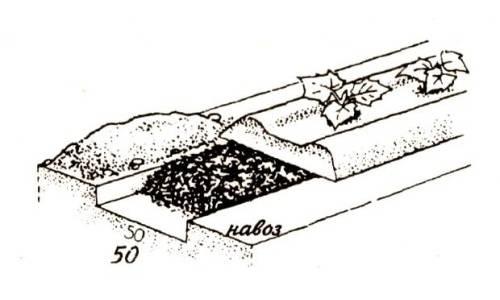 Когда и как проводить высадку огурцов в грунт?