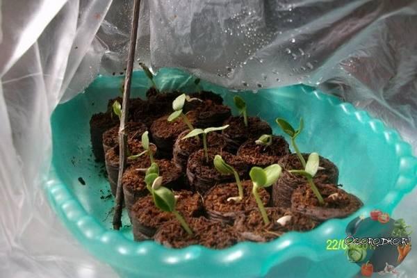 Когда сеять огурцы на рассаду  уточняем сроки посева, в каких числах сажать