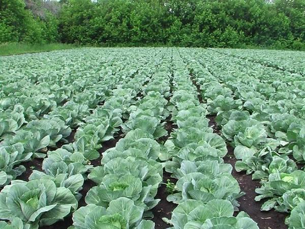 Особенности технологии выращивания капусты