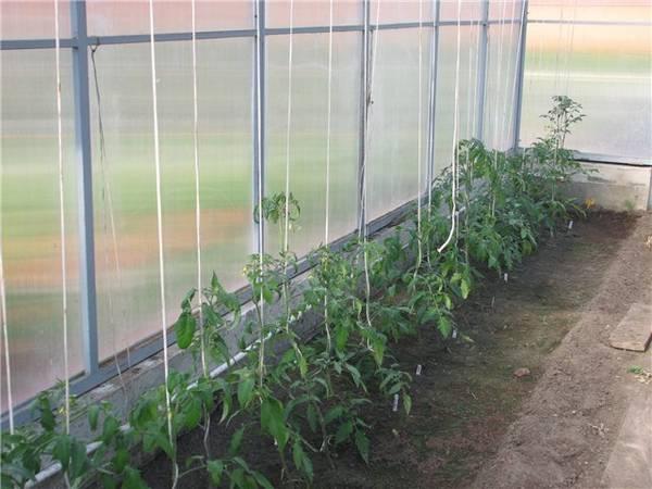 Плотность и схема посадки томатов в теплице