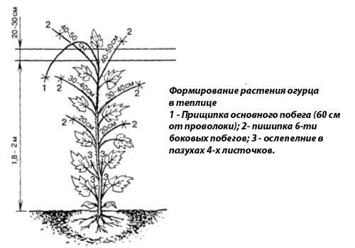 Посадка семян и рассады огурцов