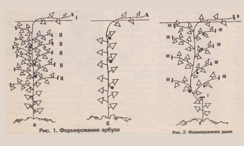 Правила полива арбузов и дыни
