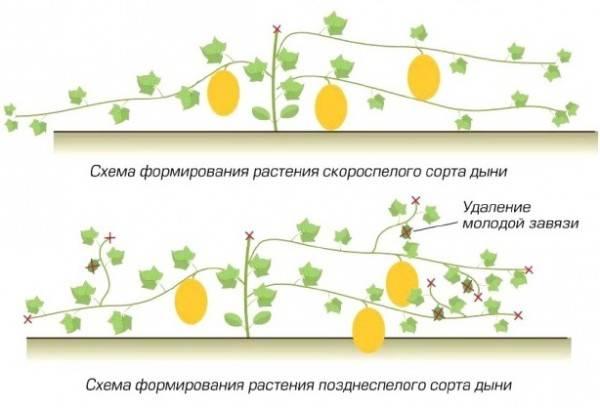 Правильная подкормка арбузов и дынь