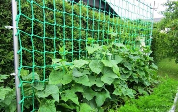 Самоопыляемые огурцы Герман: выращивание в теплице