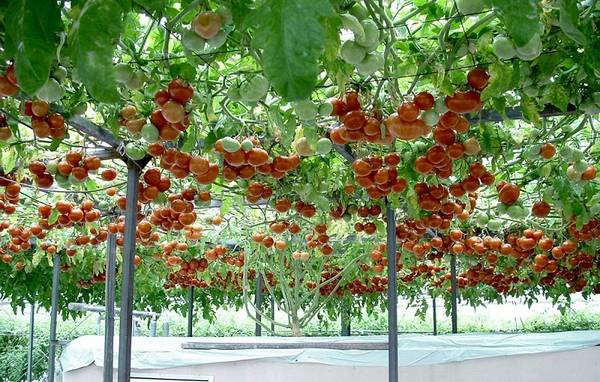 Спрут: сортовые особенности удивительного томатного дерева