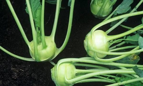 Выращивание капусты кольраби