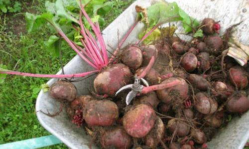 Выращивание свеклы на даче в открытом грунте